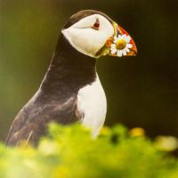 Greetings card puffin 16x16cm
