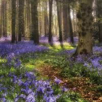 Greetings card bluebell forest 16x16cm